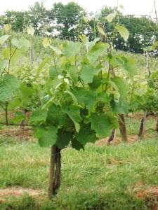 Arradoy vignes 5